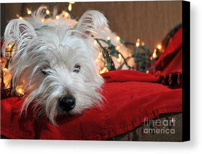 West Highland Terrier Canvas Print featuring the photograph Christmas Westie by Catherine Reusch Daley