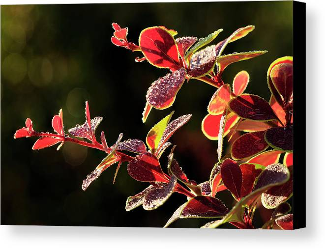 Berberis Canvas Print featuring the photograph Close Up Of Berberis Quebec, Canada by Yves Marcoux