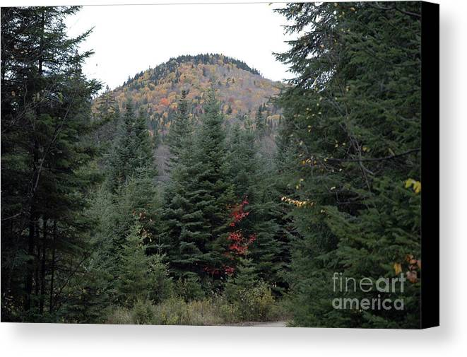 Trees Canvas Print featuring the photograph Conifer Country by Andre Paquin