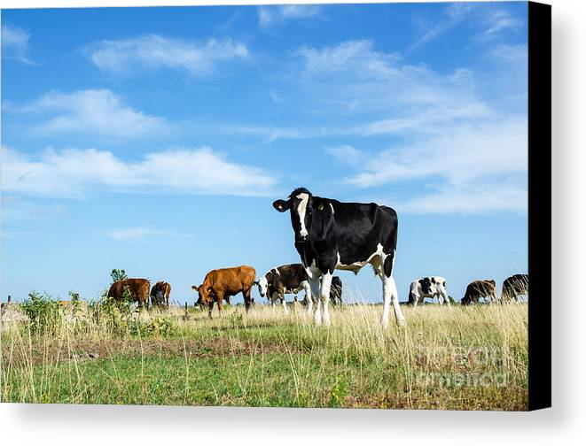 Agriculture Canvas Print featuring the photograph Curious Bull by Kennerth and Birgitta Kullman
