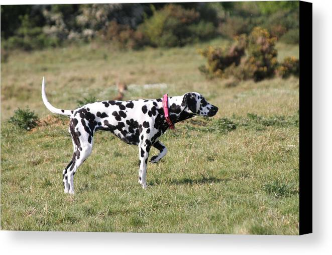 Dalmatian Pretending To Be A Pointer Canvas Print featuring the photograph Dalmation Pretending To Be A Pointer by Gordon Auld