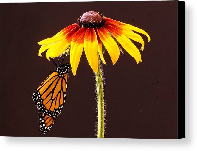 Animals Canvas Print featuring the photograph Dangling Monarch by Jean Noren