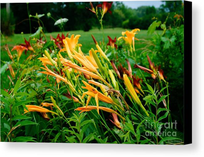 Floral Canvas Print featuring the photograph Day Lillies by Sky Shepard