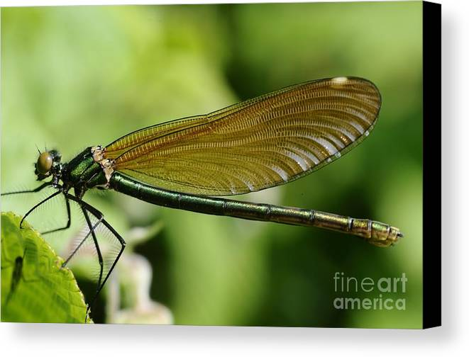 Demoiselle Canvas Print featuring the photograph Demoiselle by Jenny Potter
