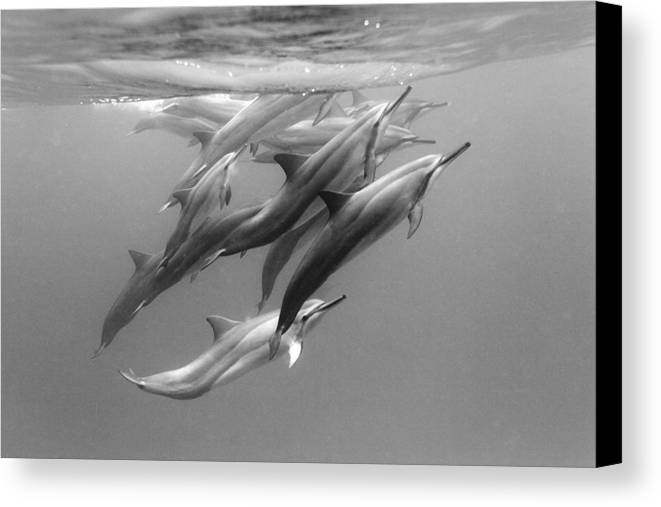 Ocean Under Water Canvas Print featuring the photograph Dolphin Pod by Sean Davey