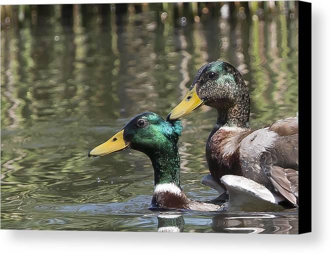 Duck Canvas Print featuring the photograph Duck Good Friends 1 by Les OGorman