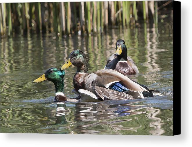 Mallard Canvas Print featuring the photograph Duck Good Friends 2 by Les OGorman