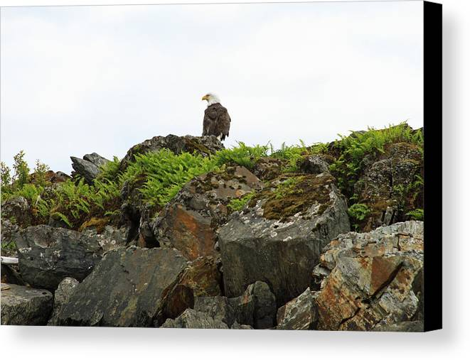 Eagle Resting Canvas Print featuring the photograph Eagle Resting by Ronald Olivier