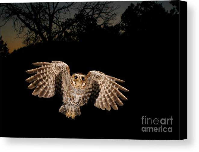 Animal Canvas Print featuring the photograph Elf Owl by Scott Linstead
