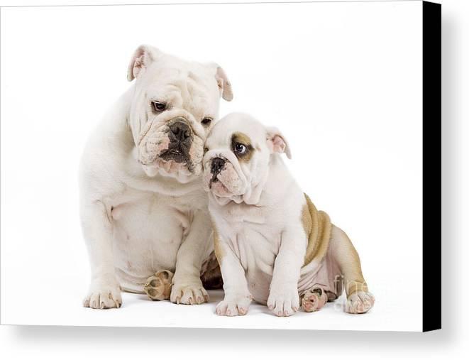 English Bulldog Canvas Print featuring the photograph English Bulldog, Adult And Puppy by Jean-Michel Labat