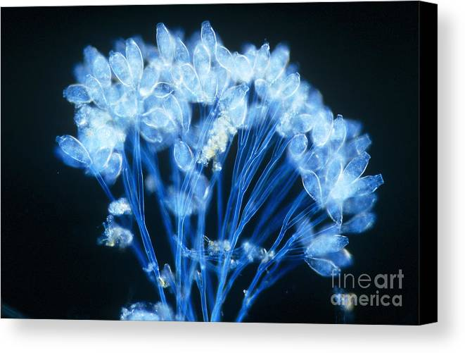 Microorganism Canvas Print featuring the photograph Epistylis by Michael Abbey