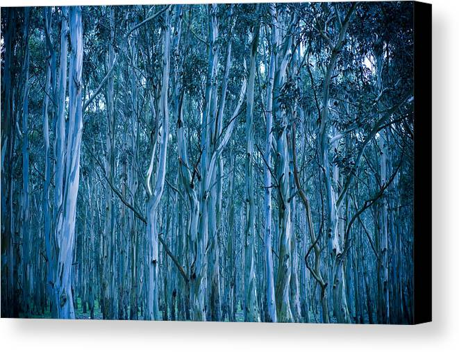 Eucalyptus Canvas Print featuring the photograph Eucalyptus Forest by Frank Tschakert
