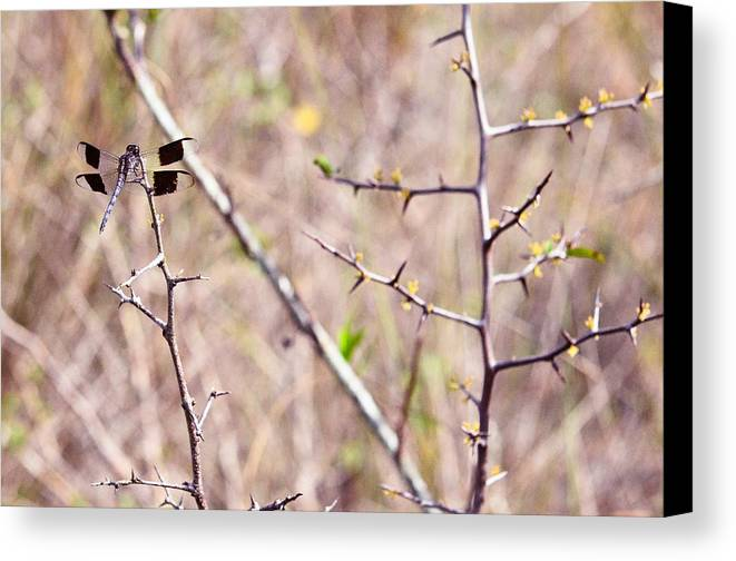 Canvas Print featuring the photograph Everglades 11 by Becky Anders