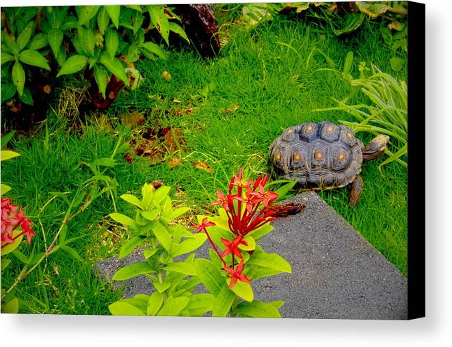Nature Canvas Print featuring the photograph Exploration By A Red Footed Tortoise by Sandra Pena de Ortiz