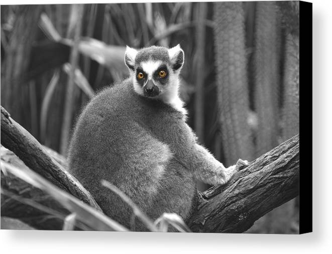 Lemur Canvas Print featuring the photograph Eye Popping by Gail Starr