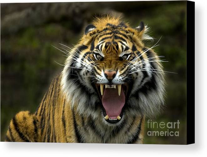Tiger Canvas Print featuring the photograph Eyes Of The Tiger by Mike Dawson