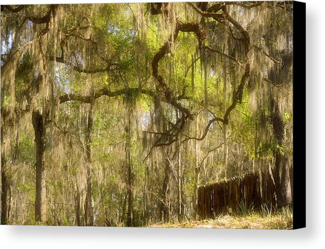 Spanish Canvas Print featuring the photograph Fabulous Spanish Moss by Christine Till