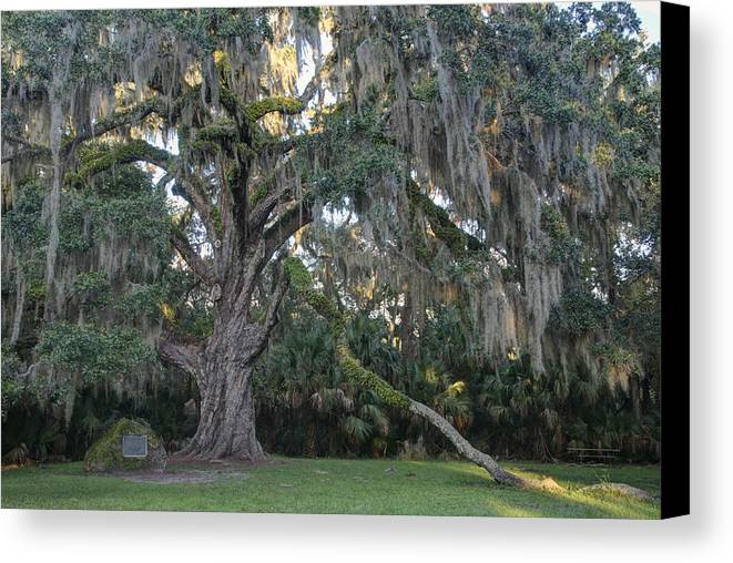 Oak Canvas Print featuring the photograph Fairchild Oak With Sunbeam by Bradford Martin