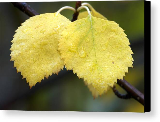 Fall Canvas Print featuring the photograph Fall Aspen Leaves After A Rain by Gary Langley
