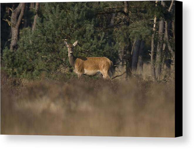 Female Canvas Print featuring the photograph Female Red Deer During Rut by Ronald Jansen
