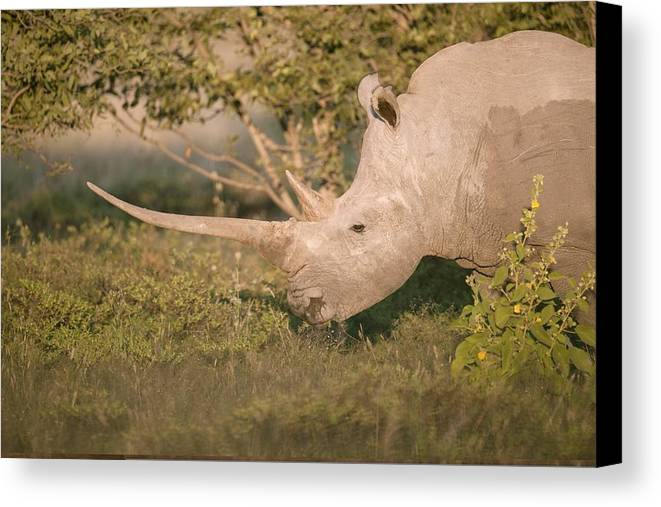 Adult Canvas Print featuring the photograph Female White Rhinoceros Grazing by Science Photo Library