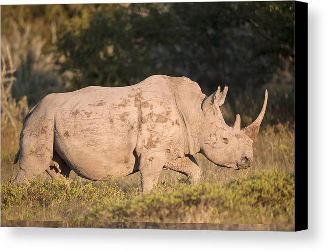Adult Canvas Print featuring the photograph Female White Rhinoceros by Science Photo Library