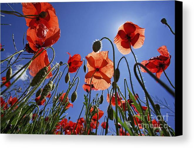Tranquil Scene Canvas Print featuring the photograph Field Of Poppies At Spring by Sami Sarkis