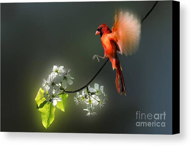 Cardinal Canvas Print featuring the photograph Flying Cardinal Landing On Branch by Dan Friend