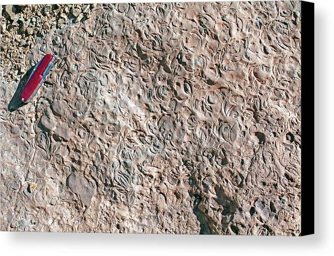 Bedding Plane Canvas Print featuring the photograph Fossiliferous Limestone by Dirk Wiersma