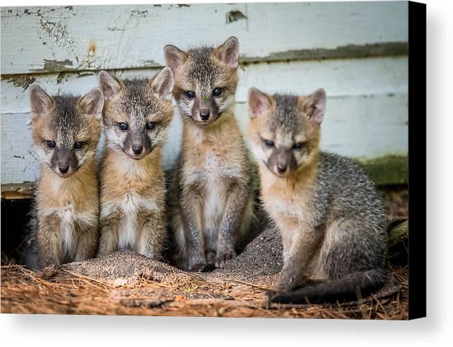 Fox Canvas Print featuring the photograph Four Fox Kits by Paul Freidlund