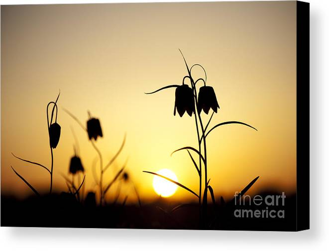 Fritillaria Meleagris Canvas Print featuring the photograph Fritillary Flower Sunset by Tim Gainey