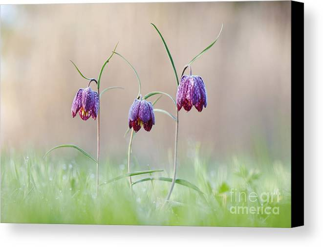 Fritillaria Meleagris Canvas Print featuring the photograph Fritillary Morning by Tim Gainey