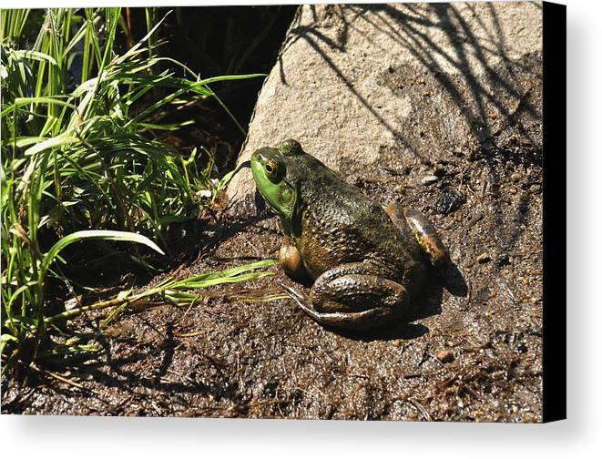 American Bull Frog Canvas Print featuring the photograph American Bull Frog by J Scott Davidson