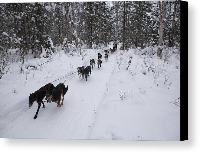 Adult Canvas Print featuring the photograph Fur Rondy Races by Tim Grams