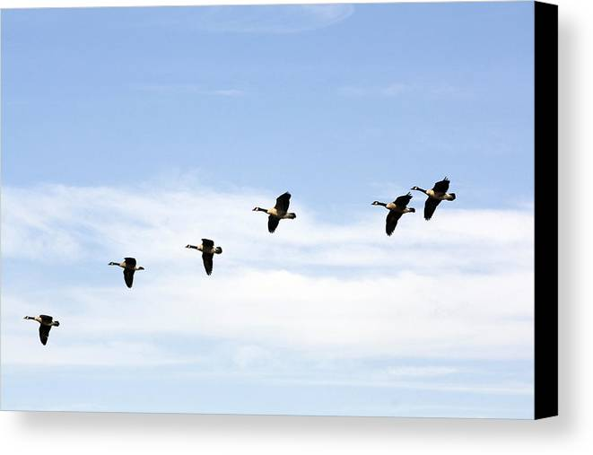 Birds Canvas Print featuring the photograph Geese Flying High by Terry Thomas