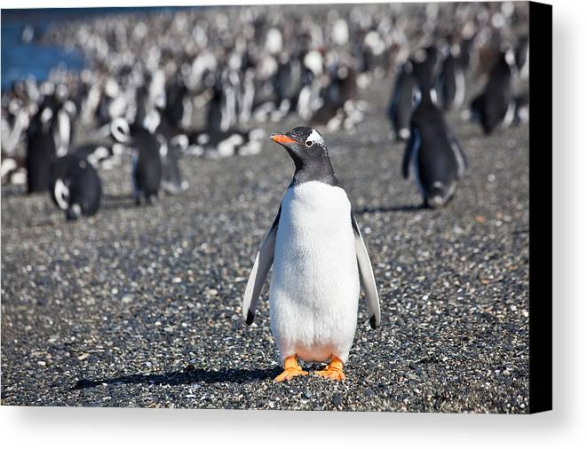 Penguin Canvas Print featuring the photograph Gentoo Penguin I by Wolfgang Woerndl