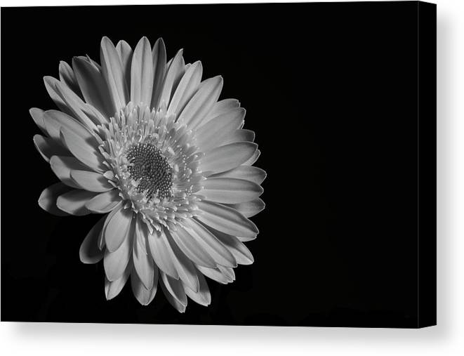 Canada Canvas Print featuring the photograph Gerbera Daisy Waterloo, Quebec, Canada by David Chapman