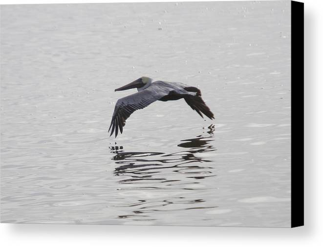 Pelican Canvas Print featuring the photograph Glide by Charles Warren