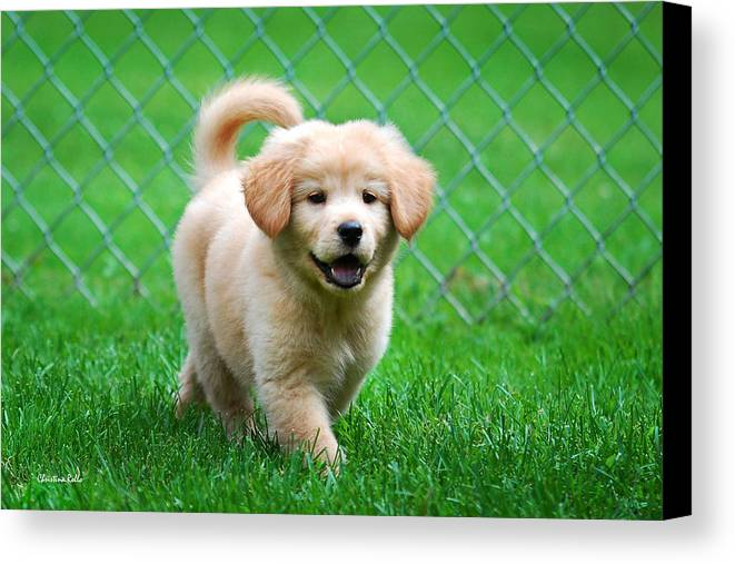 Golden Retriever Canvas Print featuring the photograph Golden Retriever Puppy by Christina Rollo