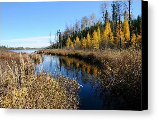Tamaracks Canvas Print featuring the photograph Golden Tamaracks by Sandra Updyke