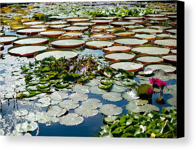 Water Lily Canvas Print featuring the photograph Gorgeous Water Lilies by Frank Gaertner