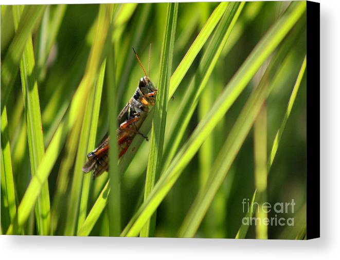 Insect Canvas Print featuring the photograph Grasshopper In Grass by Karen Adams