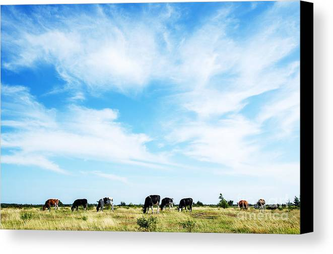 World Heritage Canvas Print featuring the photograph Grazing Cattle by Kennerth and Birgitta Kullman