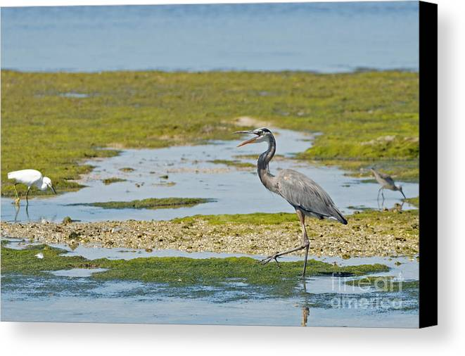 Great Blue Heron Canvas Print featuring the photograph Great Blue Heron In Florida by Natural Focal Point Photography