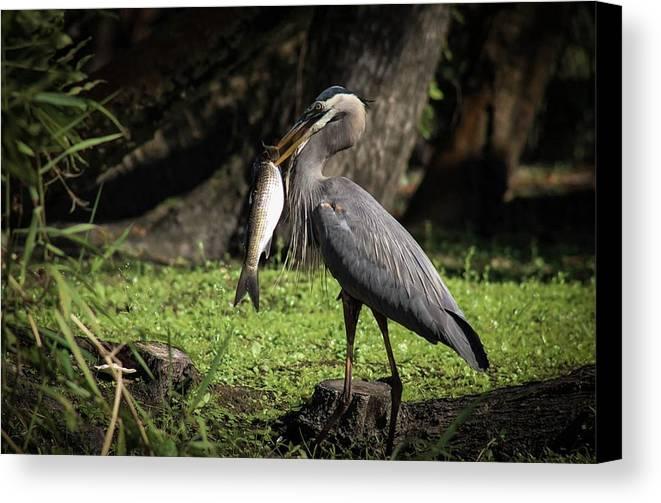 Great Blue Heron Canvas Print featuring the photograph Great Catch by Cortney Leigh