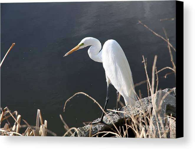 Snowy Heron Canvas Print featuring the photograph Great White Egret by Juan Romagosa