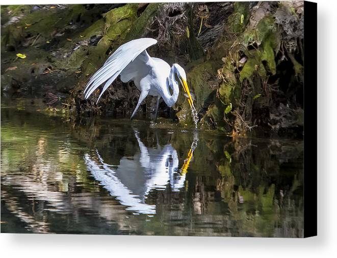 Birds Canvas Print featuring the photograph Great White Heron Fishing by Charles Warren