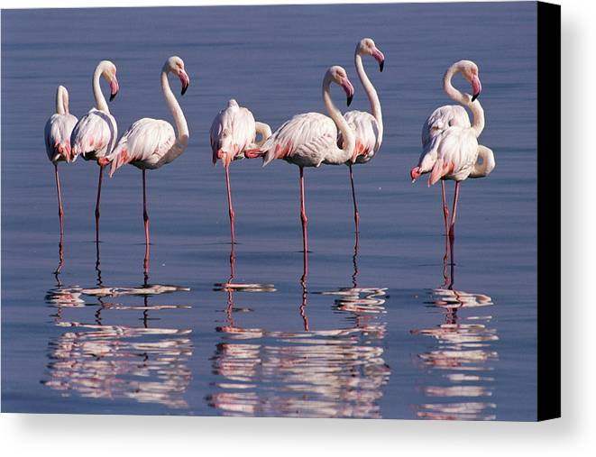 Coast Canvas Print featuring the photograph Greater Flamingo Group by Michael and Patricia Fogden