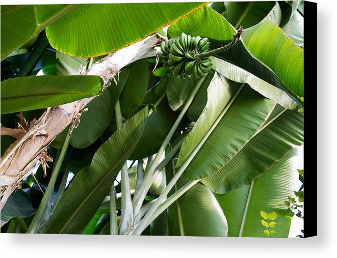 Banana Canvas Print featuring the photograph Green Bananas On A Tree by Frank Gaertner