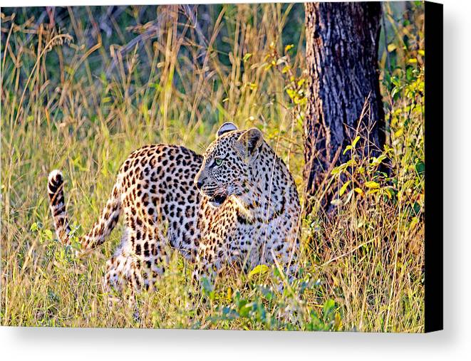 South Canvas Print featuring the photograph Green Eyed Leopard by Evan Peller